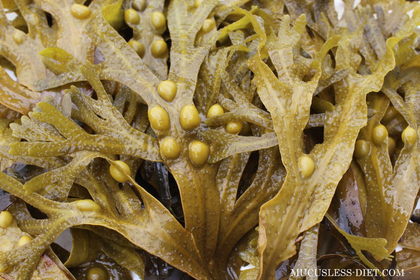 Bladderwrack Benefits - How it Will Change Your Life - THE ORIGINAL